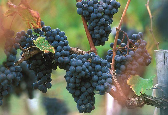 GRAPPE, RAISIN ROUGE, CEPAGE  MERLOT, VIGNE EFFEUILLEE,  VIGNOBLE DU BORDELAIS, GIRONDE, FRANCE Grappe de raisin rouge cépage Merlot sur la vigne effeuillée  - 33 - Gironde [pas d'autorisation nécessaire]